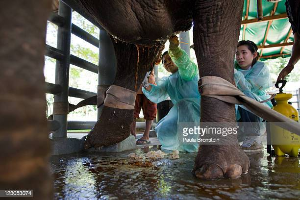 Mokay Dee is treated for her infected stomach wound by Kittaya and Suchada who are both volunteer Veterinarian students from Chiang Mai University at...