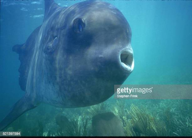 mola mola - ocean sunfish - sunfish stock pictures, royalty-free photos & images