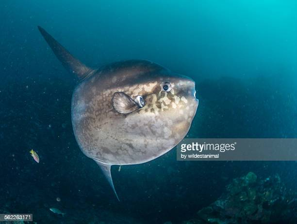 mola mola up close - freshwater sunfish stock photos and pictures