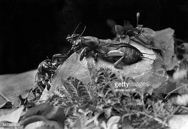 Mole cricket ca 1930 Photographer Otto Stueckle Published by 'Die Gruene Post' 35/1930Vintage property of ullstein bild