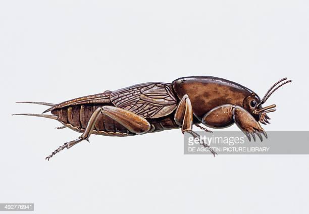 Mole cricket Gryllotalpidae Artwork by Tim Hayward
