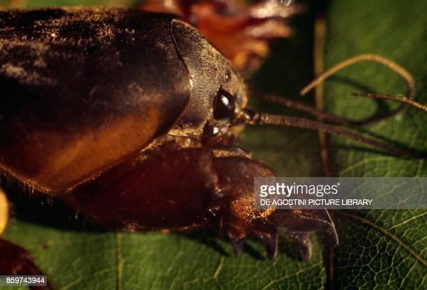 Mole cricket Gryllotalpidae