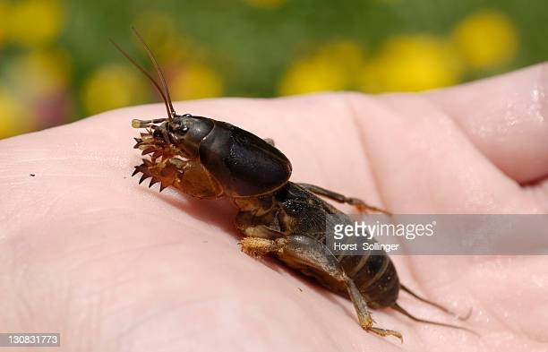 mole cricket (gryllotalpa gryllotalpa) in a child's hand - mole cricket stock pictures, royalty-free photos & images