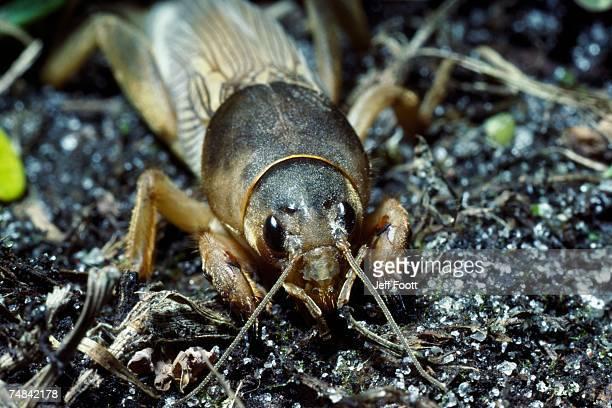 mole cricket on ground. gryllotalpa hexadactyla. florida. - mole cricket stock pictures, royalty-free photos & images