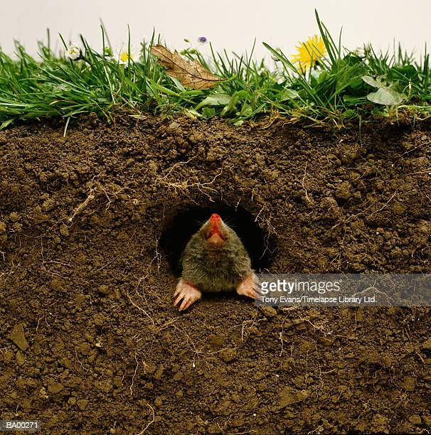 Mole emerging from burrow (Talpa occidentalis)