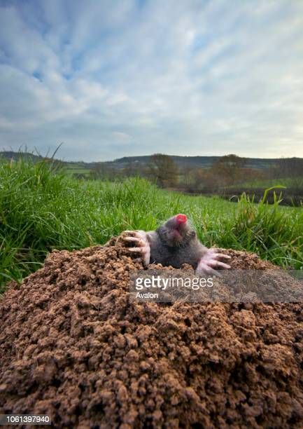 Mole emerging from mole hill in pasture The Marshwood Vale Dorset England
