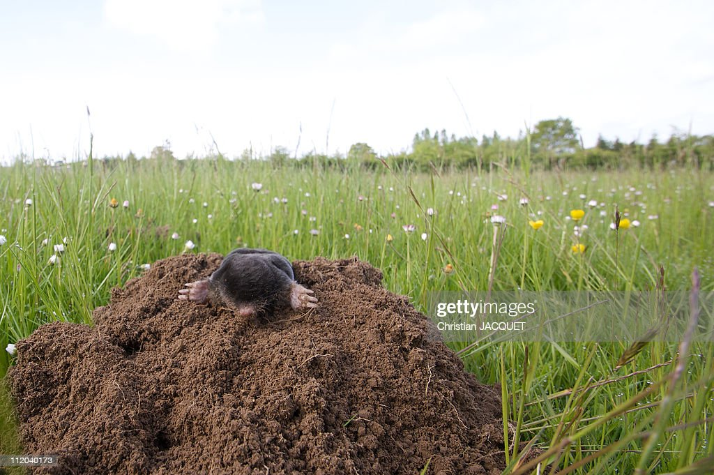 Mole on his molehill : Stock Photo