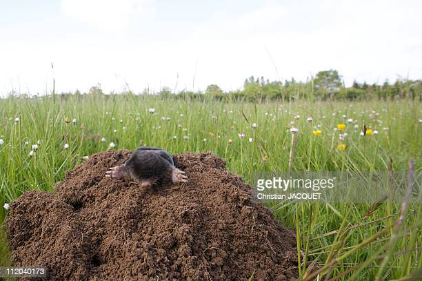 Mole on his molehill