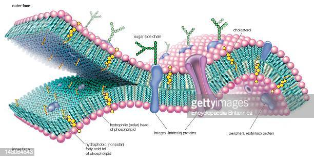 A Molecular View Of The Cell Membrane Highlighting Phospholipids Cholesterol And Intrinsic And Extrinsic Proteins