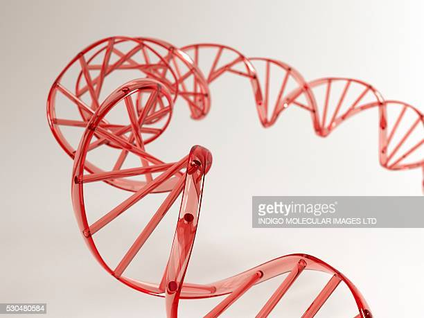 DNA molecule. Computer artwork showing a double stranded DNA (deoxyribonucleic acid) molecule. DNA is composed of two strands twisted into a double helix. Each strand consists of a sugar-phosphate backbone attached to nucleotide bases.