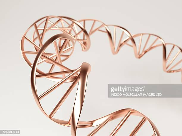 DNA molecule. Computer artwork showing a double stranded DNA (deoxyribonucleic acid) molecule. DNA is composed of two strands twisted into a double helix. Each strand consists of a sugar-phosphate backbone (gold strip) attached to nucleotide bases.