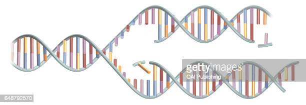 DNA molecule The DNA molecule appears in the shape of a double helix made up of billions of nucleotides it is the largest molecule in the human body