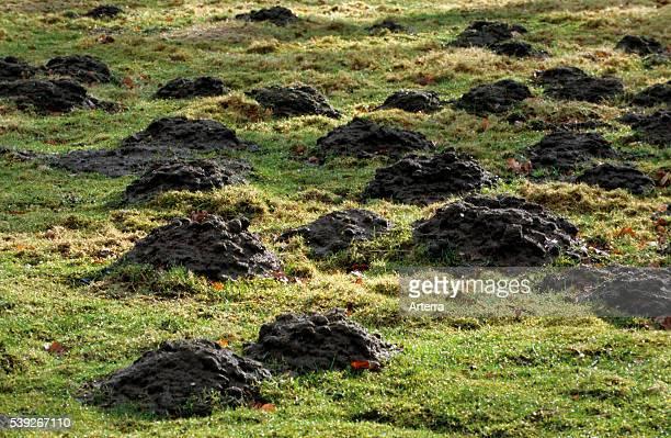 Molehills / mole mounds / molecasts by European mole in field
