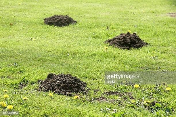 Molehills sul prato