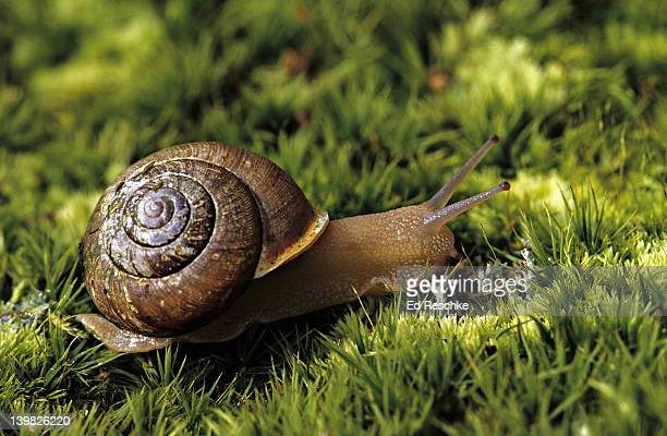 land snail. eastern deciduous forest. a mollusk that is commonly found on the moist forest floor of the eastern deciduous forest. a pulmonate snail that breathes with a lung. - animal internal organ stock photos and pictures