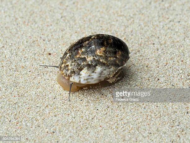 Mollusk with Shell on the Beach at Cerf Island, Seychelles