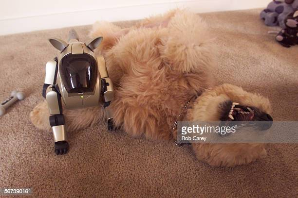 Molly a 7 month old Soft Coated Wheaten Terrier plays next to a 1500 Sony Aibo robotic dog