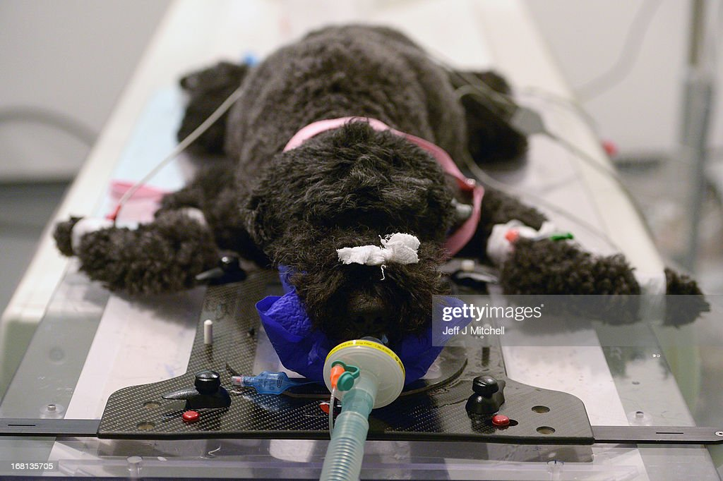 Molly a Poodle is prepared for a CT scan at the small animal hospital at the School of Veterinary Medicine at the University of Glasgow on April 30, 2013 in Glasgow, Scotland. One of only two veterinary schools in Scotland, University of Glasgow School Of Veterinary Medicine was founded in 1862 by James McCall, it attracts students and researchers from around the world where they train over a 5 year course to become Veterinarians on a broad range of animals large and small.
