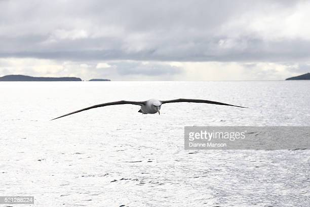 Mollymawk flies by during Prime Minister John Key's visit to Ulva Island on April 15 2016 in Stewart Island New Zealand It is John Key's first visit...