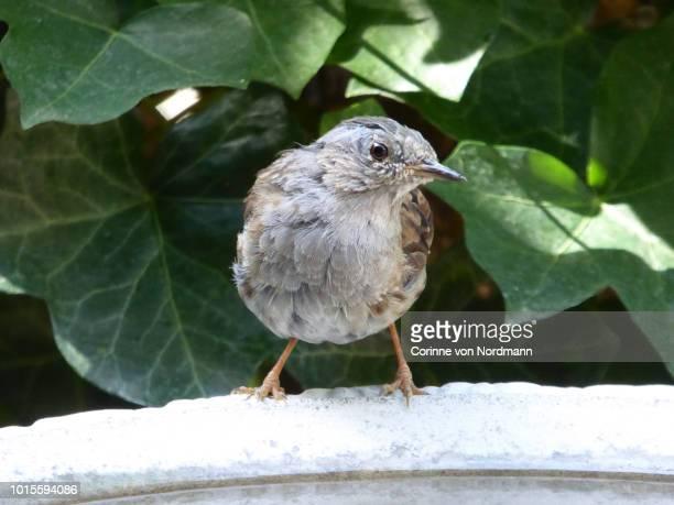 molting female dunnock at birdbath  - prunella modularis - esantema foto e immagini stock