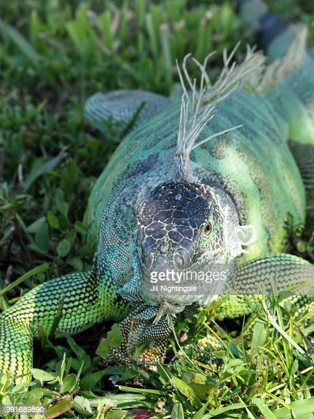 Molting Green Iguana in Grass