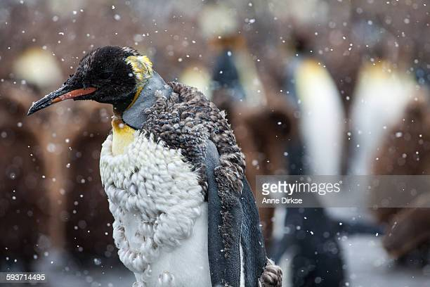 molting king penguin - koningspinguïn stockfoto's en -beelden