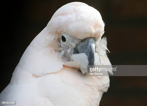 Moluccan Cockatoo Portrait