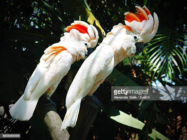 Moluccan Cockatoos Perching On Wood Against Tree