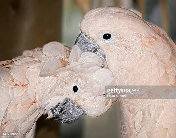 Moluccan cockatoos
