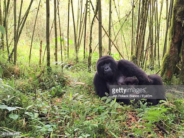 mom and baby gorilla resting in volcanoes national park, rwanda - gorilla stock pictures, royalty-free photos & images