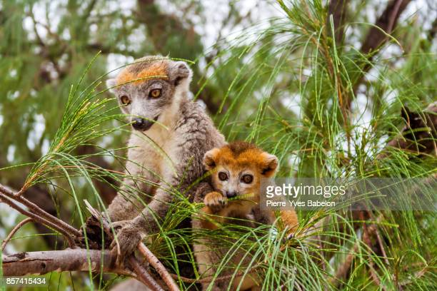 Mom and child Crowned lemur