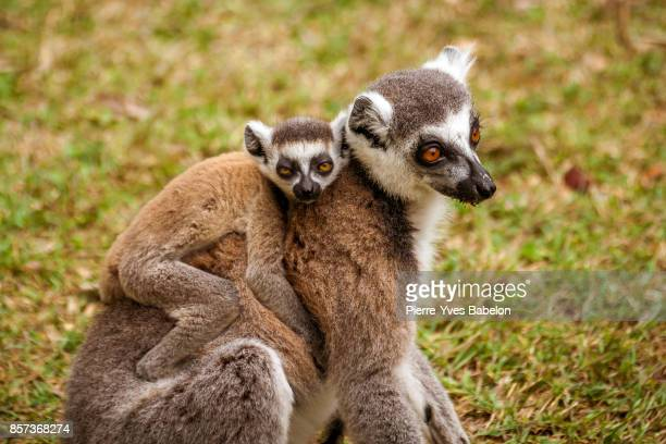 mom and child lemurs catta - animal family stock pictures, royalty-free photos & images