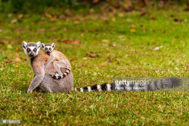 mom and child lemurs catta - lemur stock photos and pictures