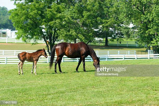 mom and child - thoroughbred horse stock photos and pictures