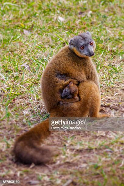 Mom and child Tawny lemurs