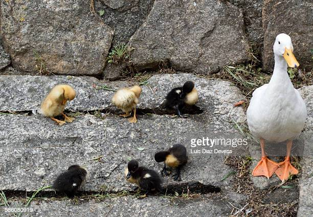 mom and ducklings - ugly duckling stock photos and pictures