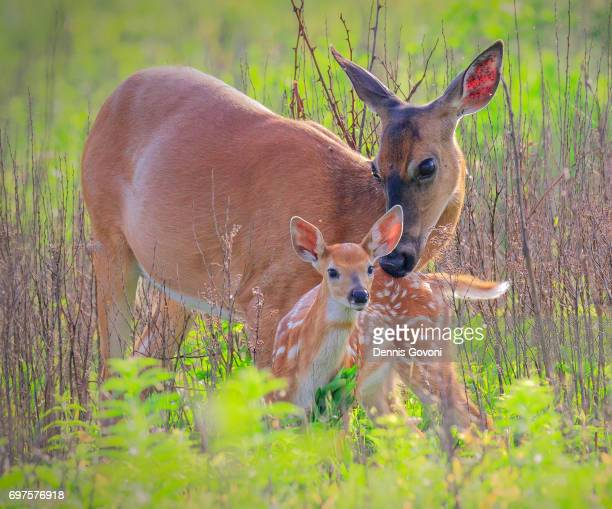 mom and her fawn - shenandoah_national_park stock pictures, royalty-free photos & images
