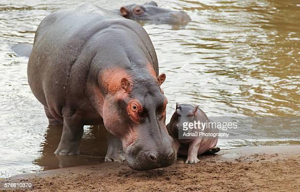 Mom Hipppo with newborn baby