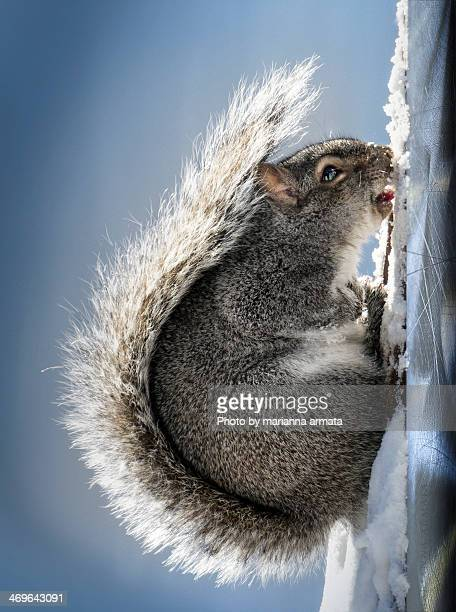 mom! i'm stuck! - gray squirrel stock photos and pictures