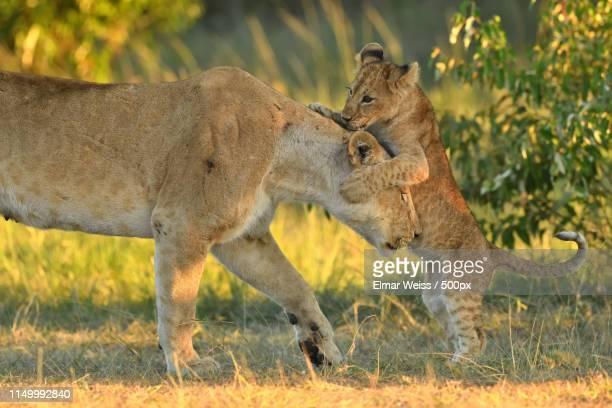 mom is the best! - 動物の親子 ストックフォトと画像