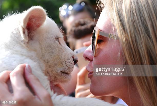 Mombasa one of the two eightweek old white lion cubs plays with a visitor in her new home in Abony Hungary on June 3 2014 The brother and sister...