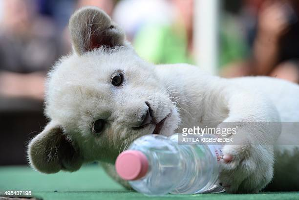 Mombasa one of the two eightweek old white lion cubs plays with a plastic bottle in her new home in Abony Hungary on June 3 2014 The brother and...
