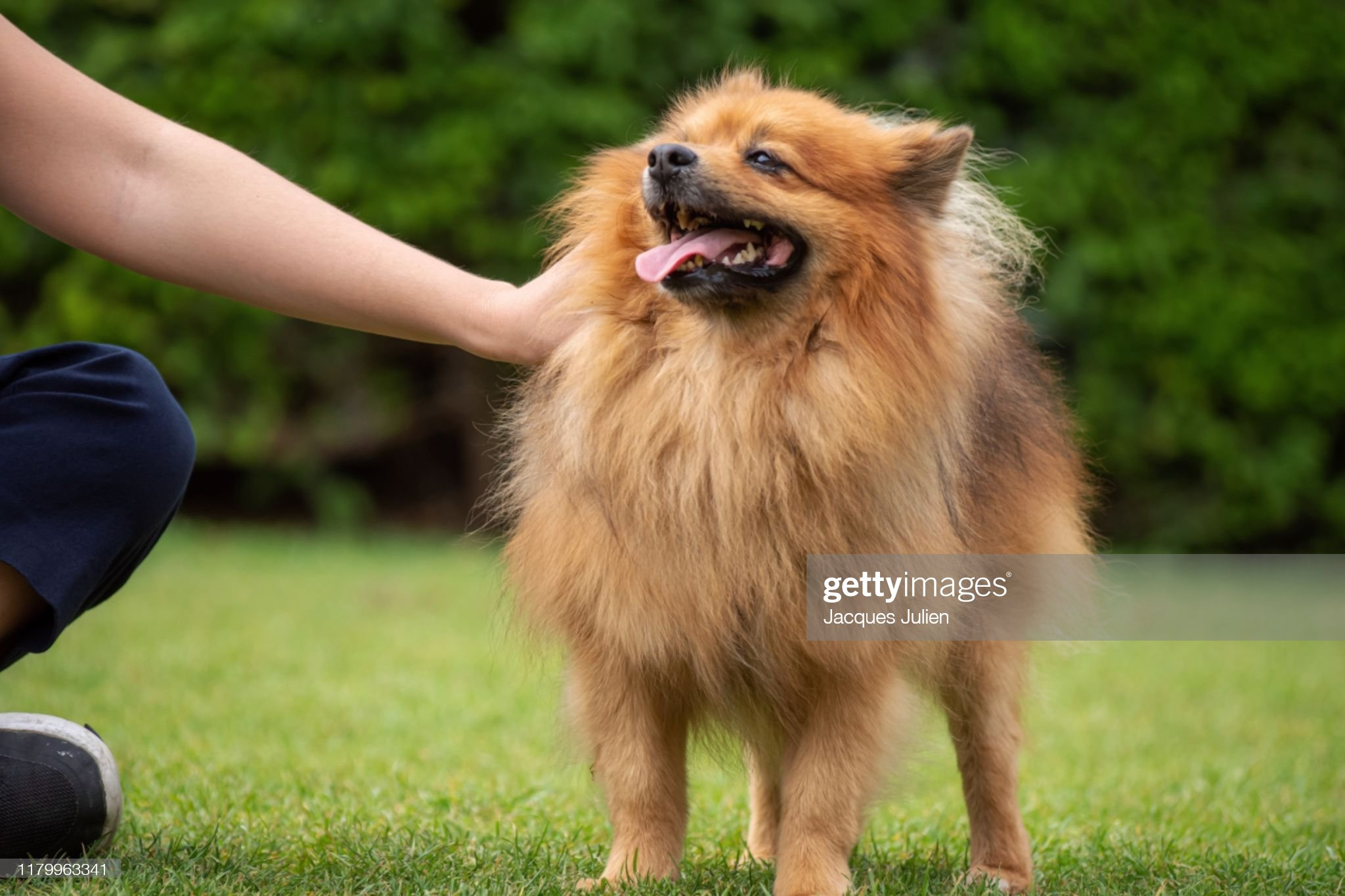Moment of complicity and love between a spitz dog and his master : Photo