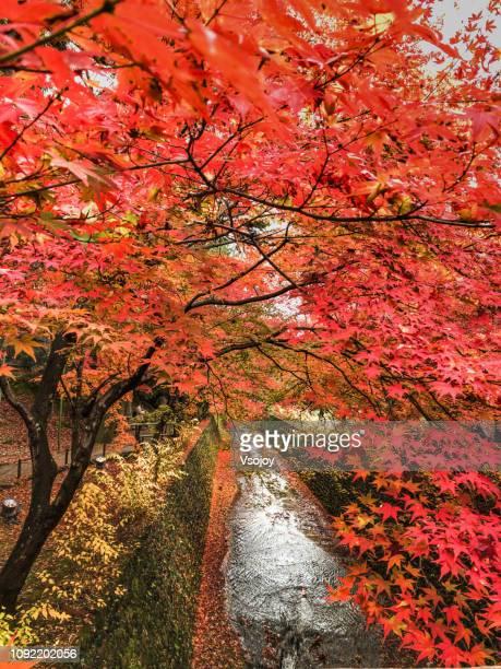 momiji-en (maple garden) v at kitano tenmangu shrine in autumn, kyoto, japan - vsojoy stockfoto's en -beelden