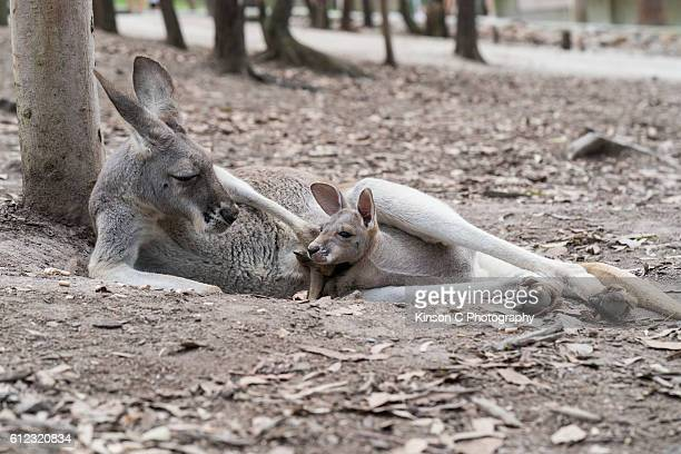 Mommy And Baby Kangaroo In Her Pouch