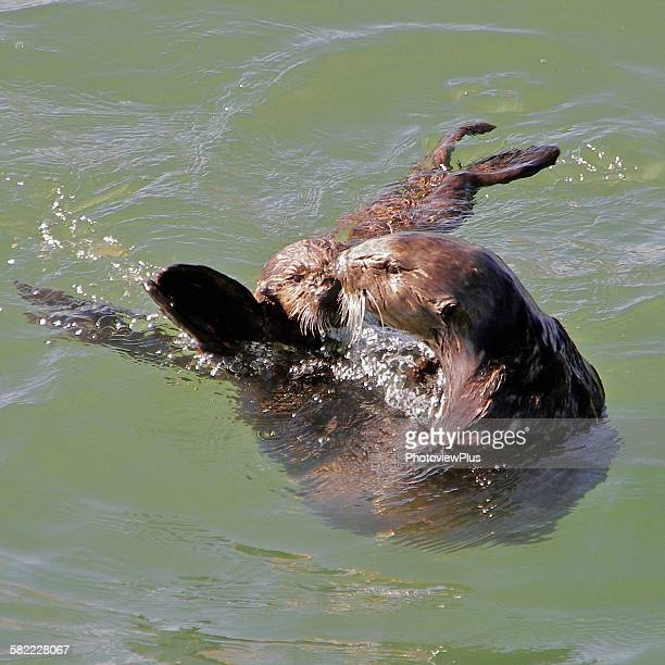 mommy kiss - sea otter stock photos and pictures