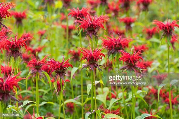 Monada red Flowers