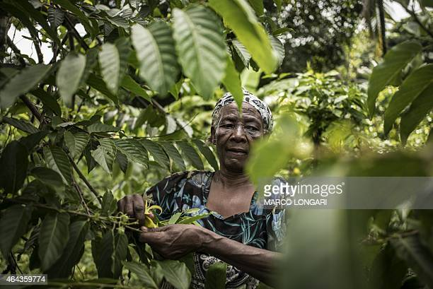 Monando Islam picks out YlangYlang flowers on February 24 2015 on the slopes of the Karthala volcano where she and other members of her family grows...
