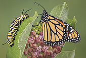 Monarch and caterpillar on milkweed plant