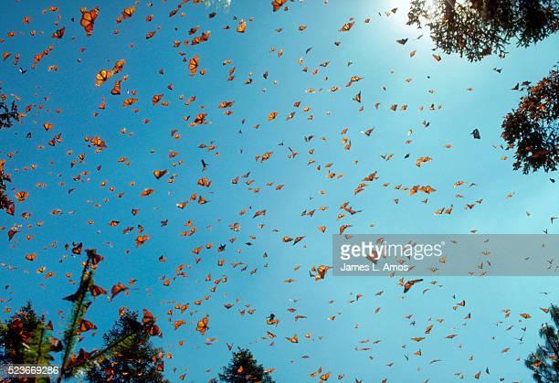 monarch butterflies against blue sky - vlinder stockfoto's en -beelden
